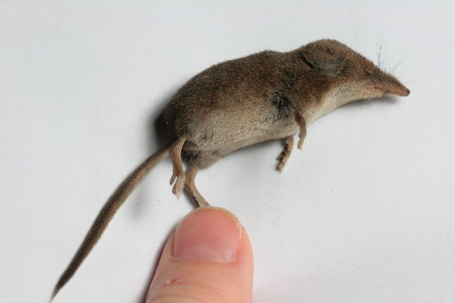 Masked Shrew, Sorex cinereus | themarvelousinnature.wordpres… | Flickr