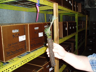 R-5 Modoc NF - Sand Fire Project 2009 Accomplishment Report for ADF seedling in cooler | by USFS Region 5