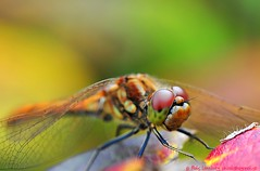 Dragonfly I | by nikkorglass