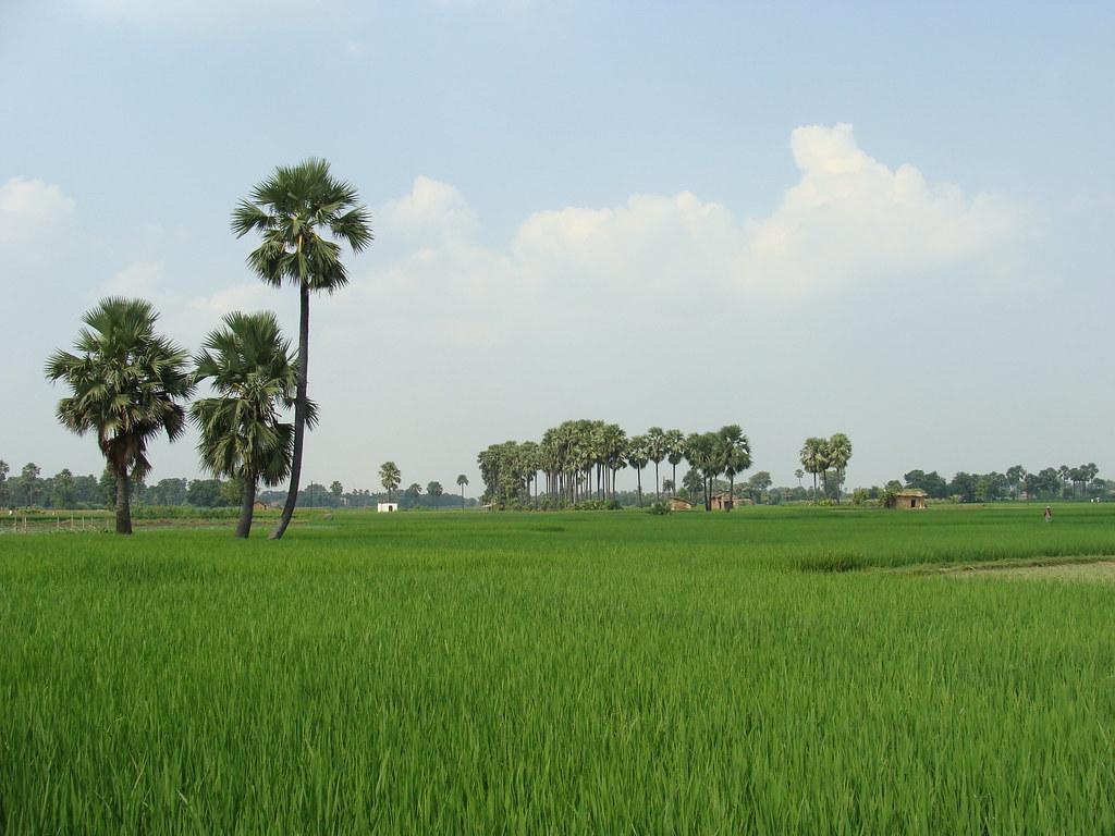 rice plantations bihar india ya po guille flickr