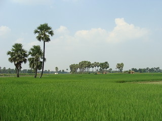 Rice plantations, Bihar, India | by ya po guille
