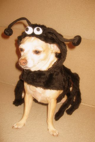 Spider Dog Costume | by nestinteriors Spider Dog Costume | by nestinteriors & Spider Dog Costume | Hereu0027s little Chico all dressed up in ou2026 | Flickr