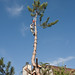 Residential tree topping and Removal