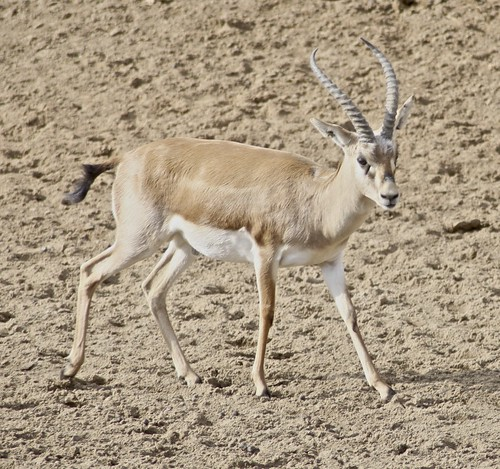 The Goitered Gazelle Facts For Kids