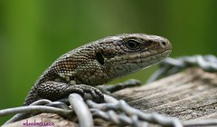 The UK Common  Lizzard (Lacerta vivipara) | by Mckenzie Walters