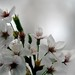 Cherry Blossom, Tokyo