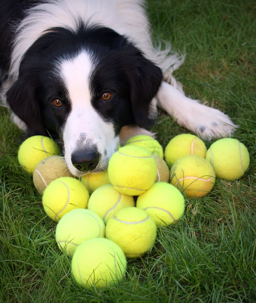 A Tale Of 17 Tennis Balls And 1 Border Collie His New Flickr