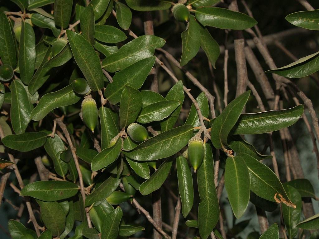 encino siempre verde live oak quercus fusiformis flickr
