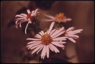 Closeup of Lavender Aster, a Fall Tallgrass Prairie Wildflower Growing in Johnson County Kansas near Kansas City...10/1974 | by The U.S. National Archives