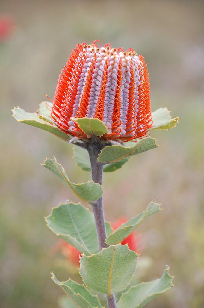 Banksia Coccinea Western Australia The Scarlet Banksia