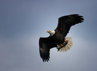 Eagle with Catch - Conowingo Dam | by crabsandbeer (Kevin Moore)