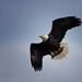 Eagle with Catch - Conowingo Dam