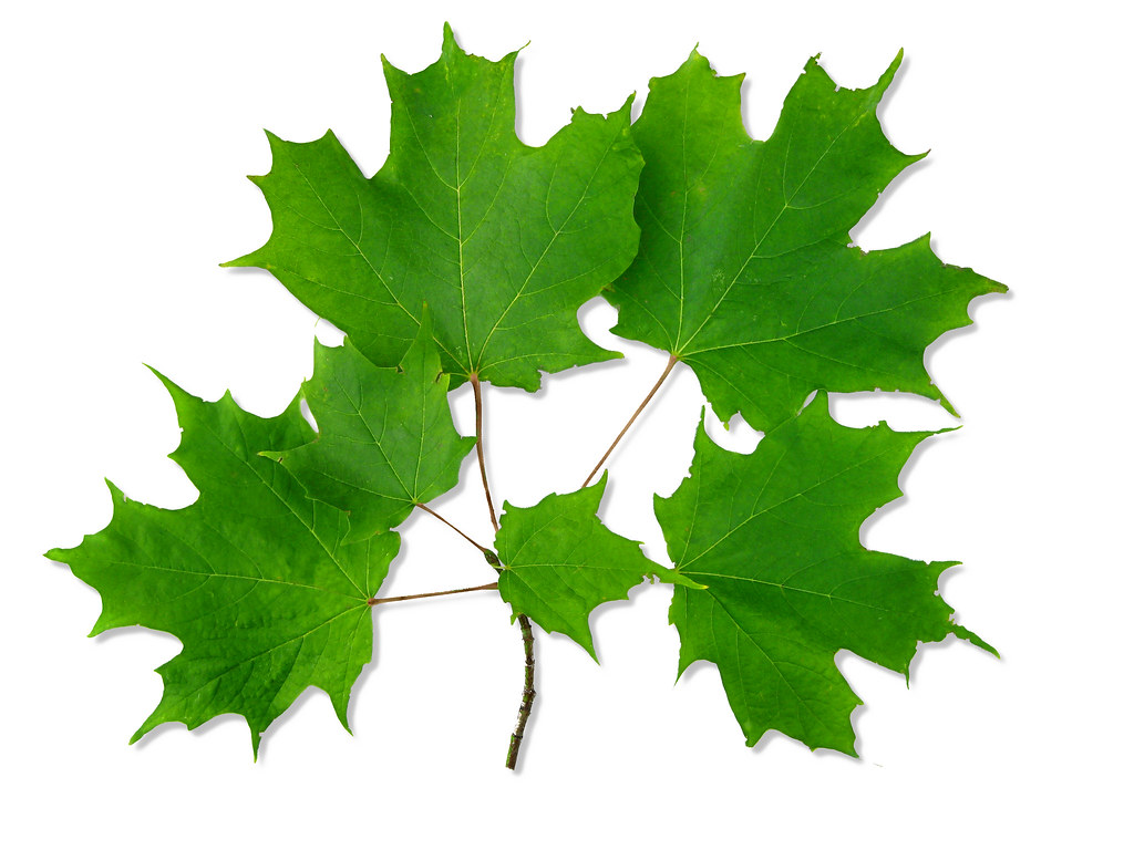 sugar tree latin singles Photos and description of sugar maple (acer saccharum) - ontario trees and shrubs.