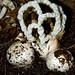 Basket Fungi
