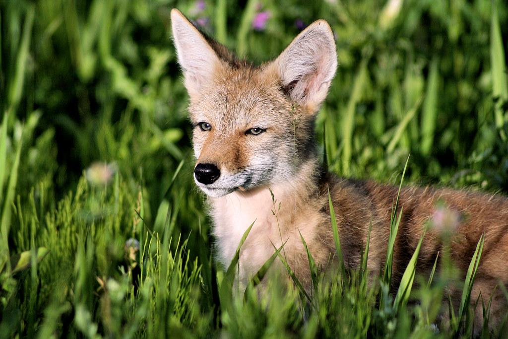 Newborn Coyote Baby Coyote! | This ba...