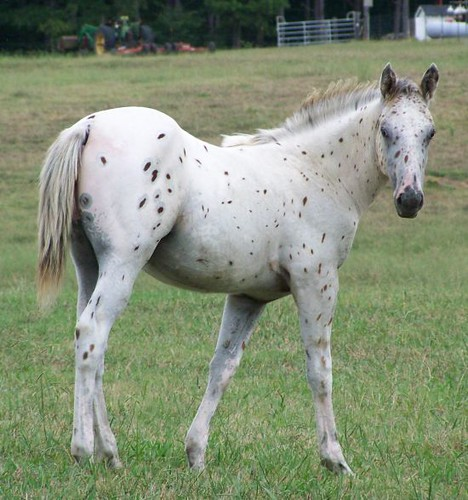 Bay Leopard Appaloosa Filly For Sale | This is a truly ...