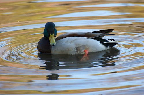 mallard | by julesberry2001