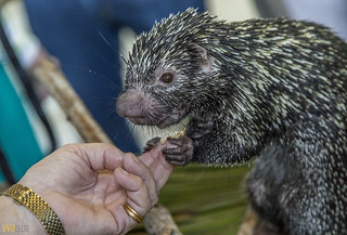 Rothschild's porcupine Gamboa Wildlife Rescue pandemonio 2017 - 11 | by Eva Blue