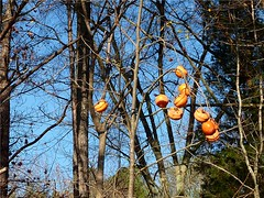 persimmons | by pianomom2001