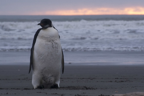 Emperor Penguin © Owen Smith | by Theshedlight