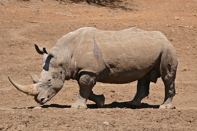 White Rhino (Ceratotherium simum) coming to drink ...