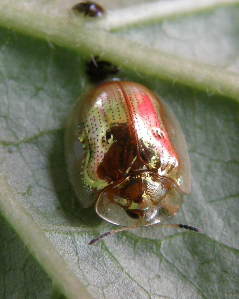 Фото Сонник золотой жук