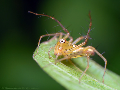 Lynx spider | by Rundstedt B. Rovillos