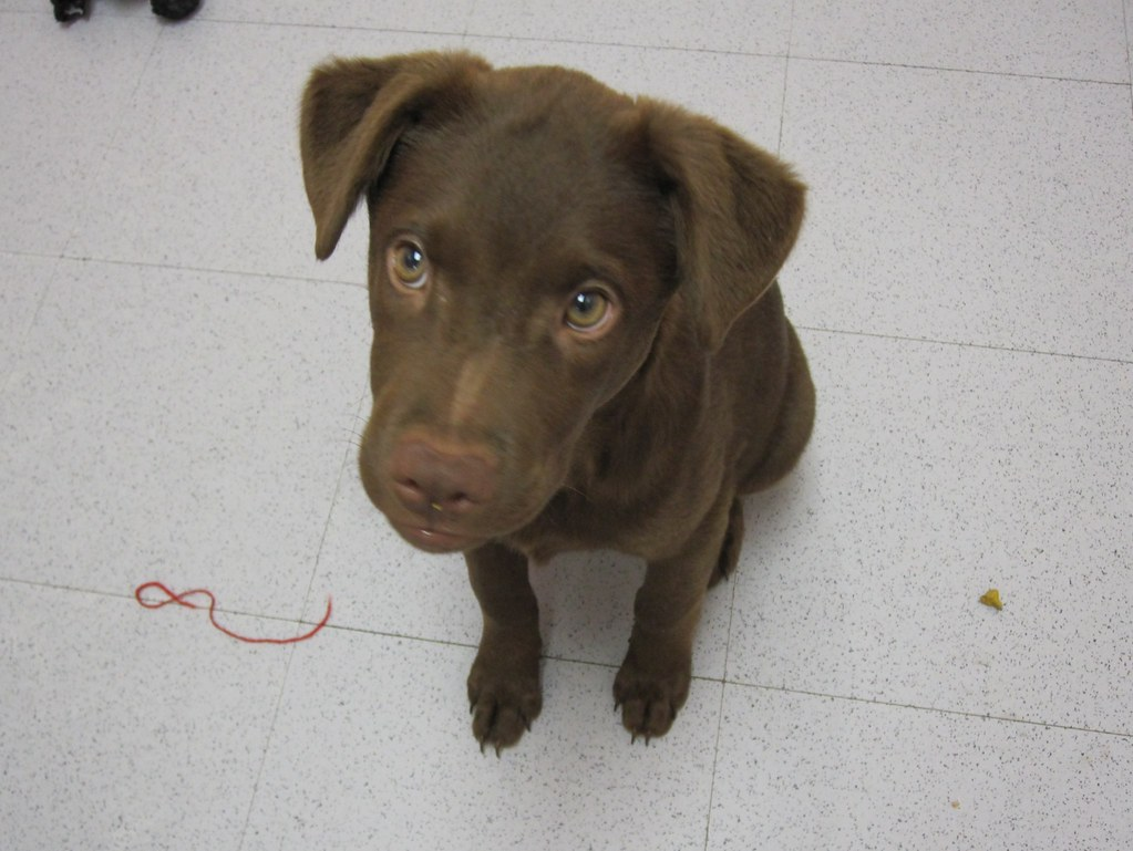 Chocolate Lab Pictures Free