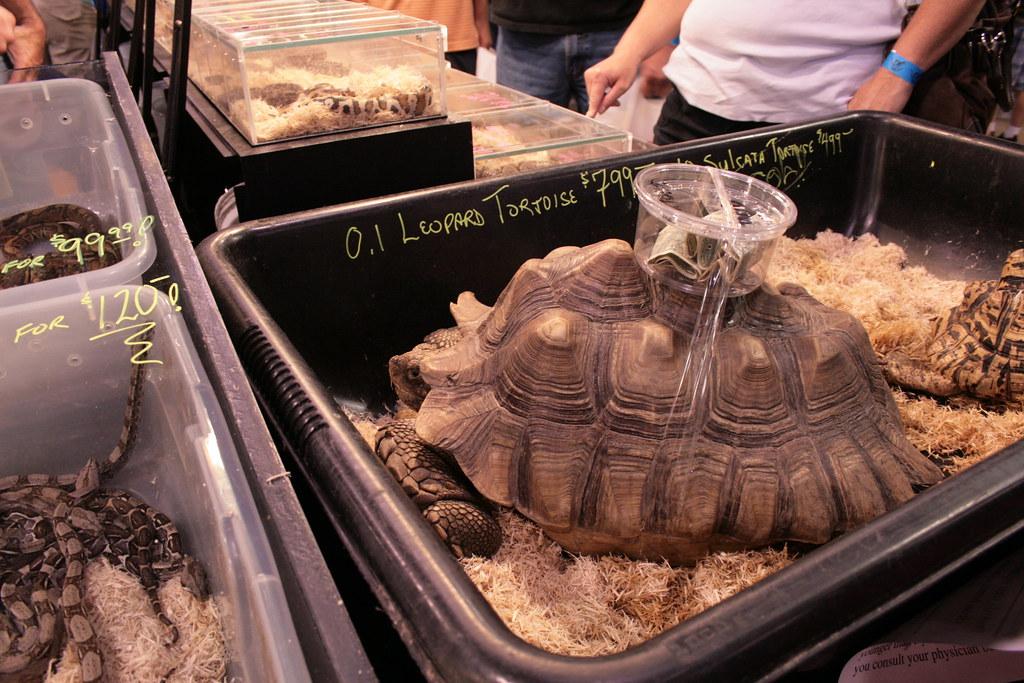 African Sulcata Tortoise Habitat Sulcata Tortoise Aka African