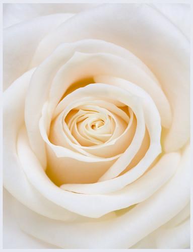 White Chocolate Rose Petals