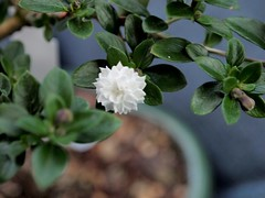 Snow Rose Serissa Bonsai | by LinuxArtist