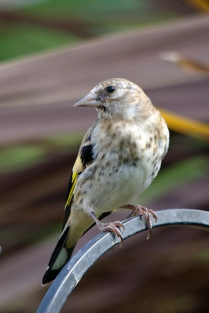 Baby Goldfinch | Rob | Flickr