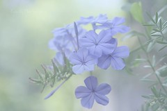 Plumbago mystery in the mist .... periwinkle blue in the fog ... | by Ewa Ciebiera +3 mln visits. Thank you!
