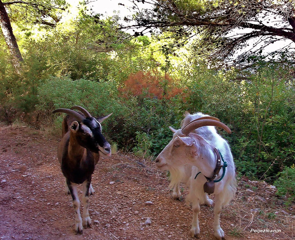 goats dating