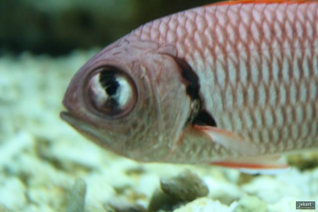 Big eyed fish flickr photo sharing for One eyed fish