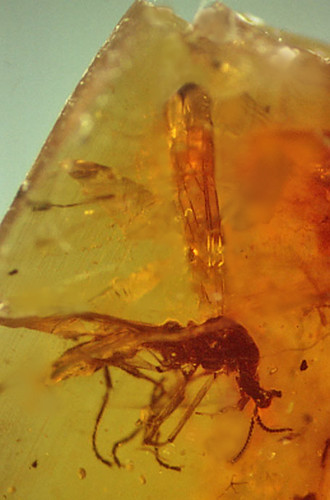 "Amber fossil ""unicorn"" fly 