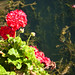 Lake blossoms