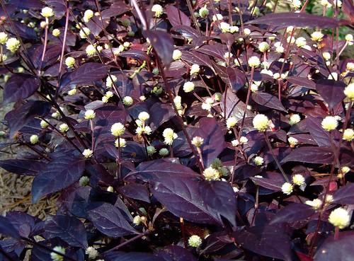 amaranthaceae  u83a7 u79d1