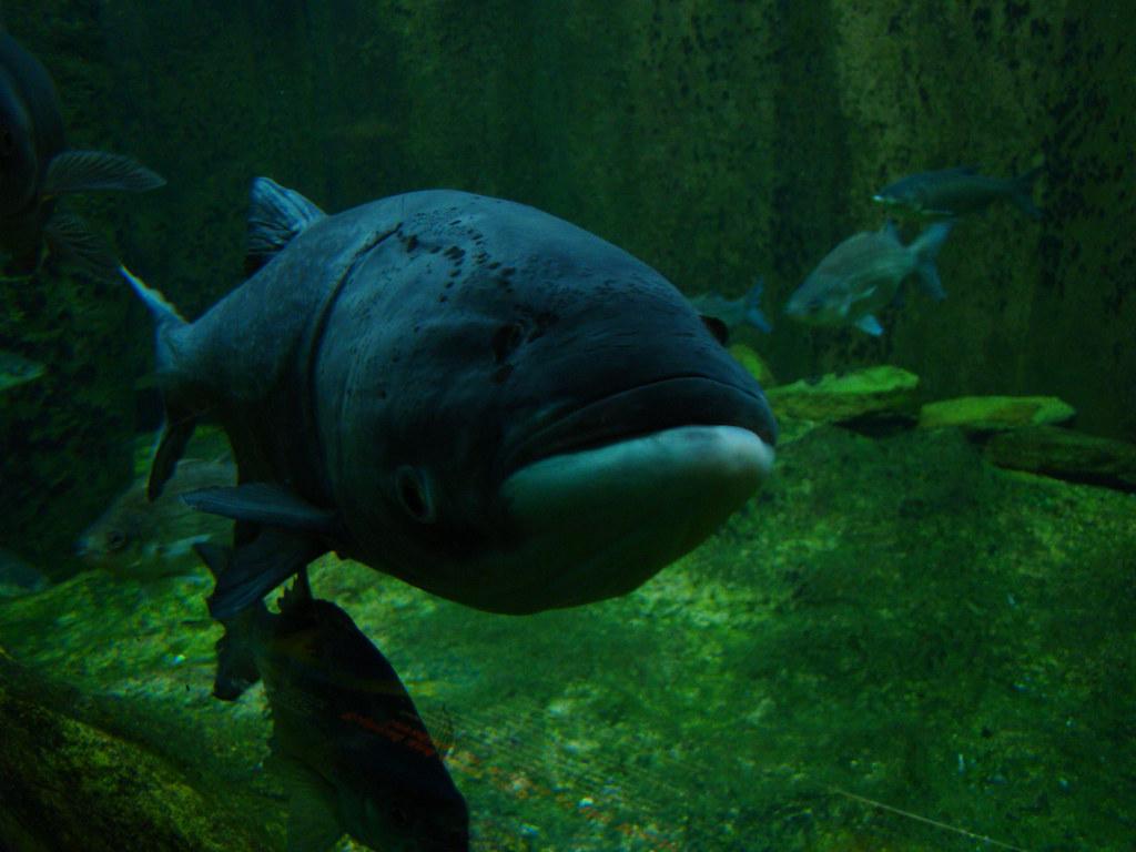amazon river fish bighead carp daniel arndt flickr