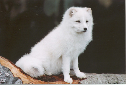 Arctic Fox | by Potter Park Zoo