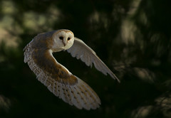 Tyto alba | by Antonio de la Cruz Wildlife photo