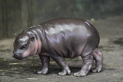 Dwerg nijlpaard baby Flory