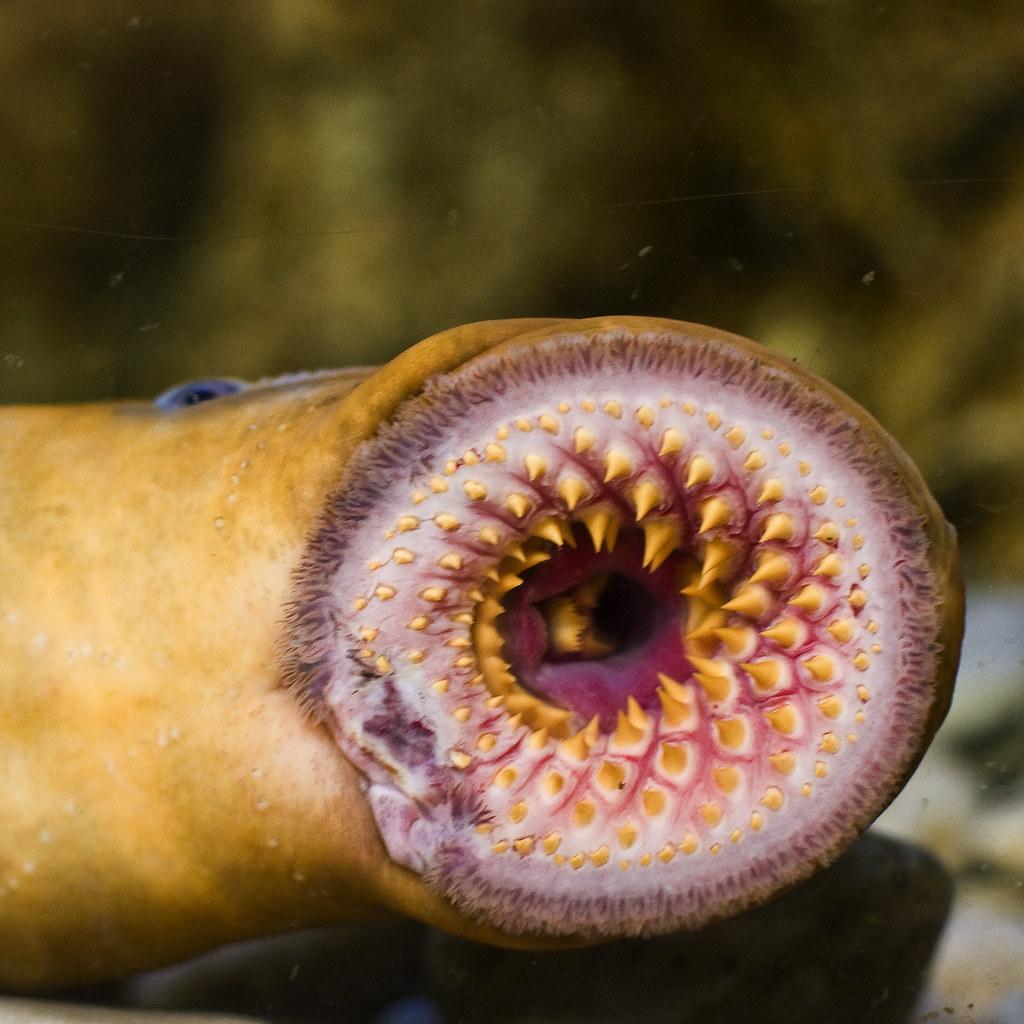 lamprea / lamprey eel | Acuario de Gijon - Asturias ...
