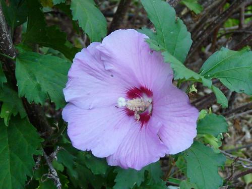 Mon jardin automne 2009 hibiscus syriacus 39 oiseau bleu for Mon jardin 3d