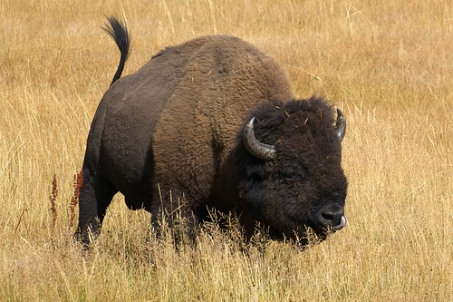 bison | by julesberry2001