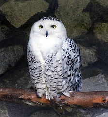 Adult Snowy Owl | by Steve Wilson - over 8 million views Thanks !!