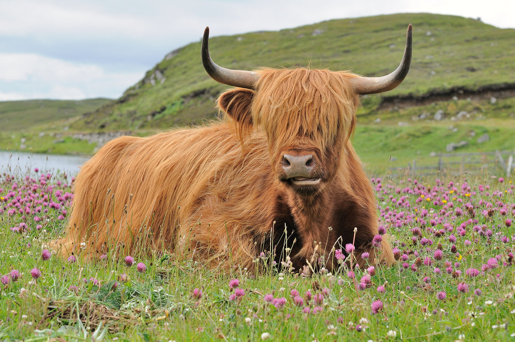 A highland cow heilan coo doune braes hotel isle of le for Www coo