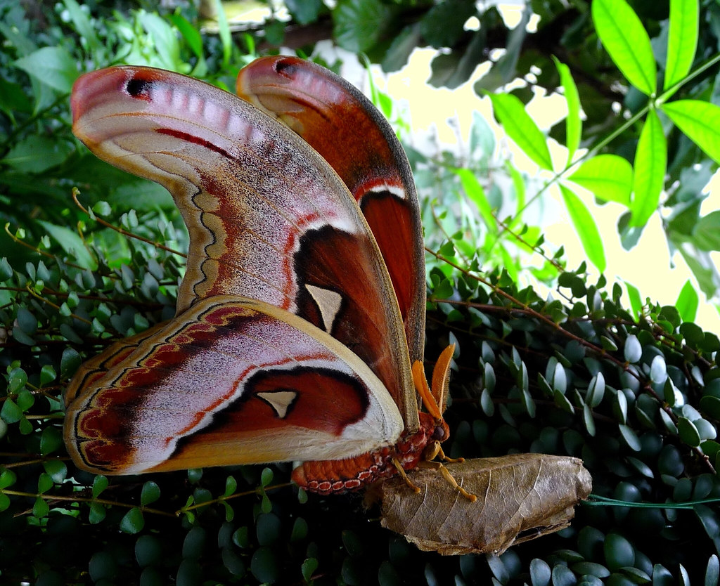 attacus atlas newly hatched giant moth in the butterfly