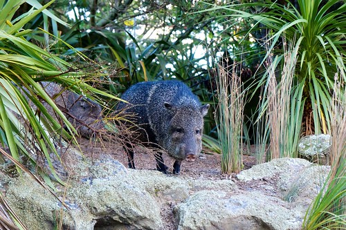 One of Wellington Zoo's Peccaries | by thepatrick
