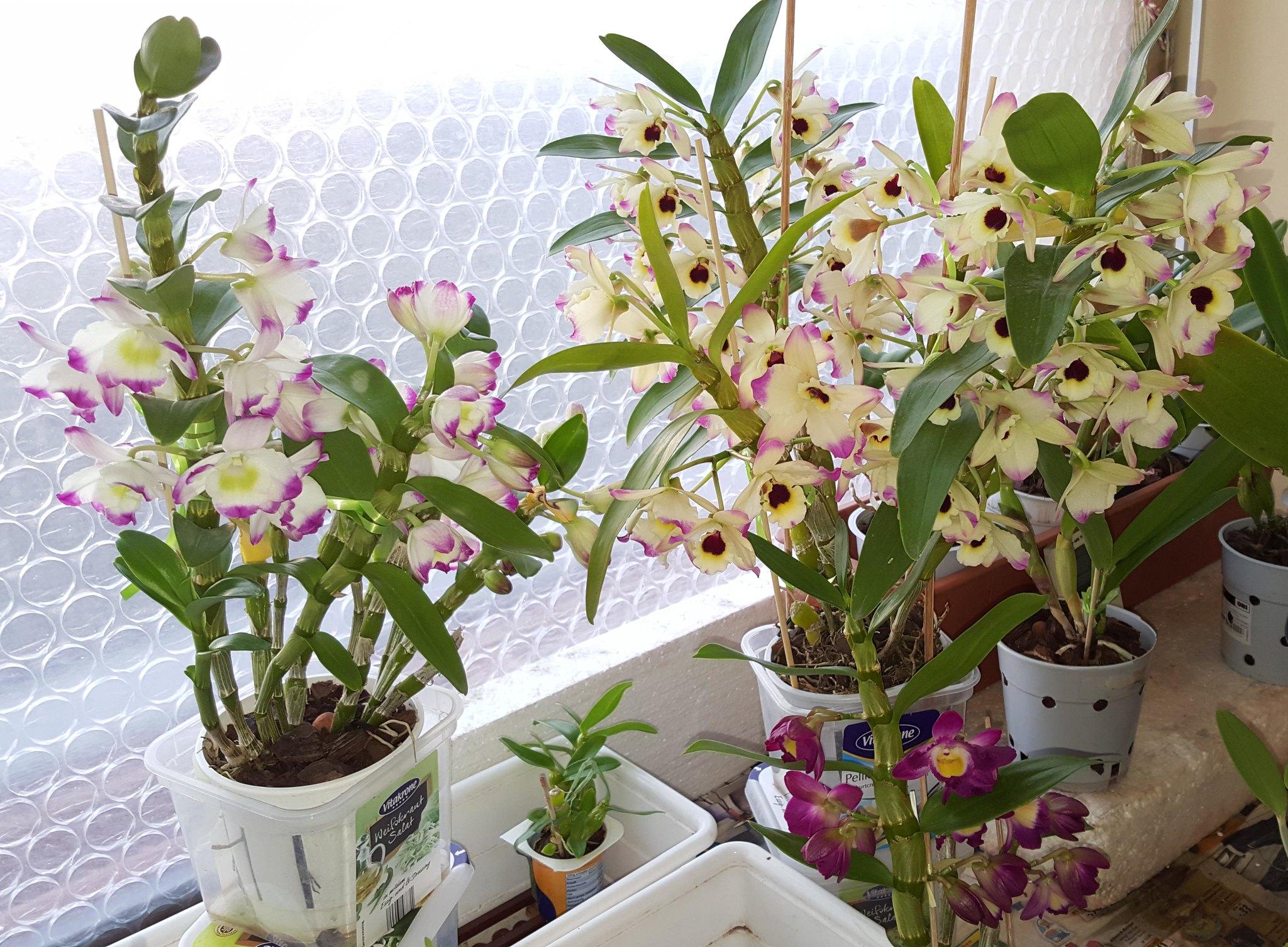 dendrobium nobile orchid care info houseplant central. Black Bedroom Furniture Sets. Home Design Ideas